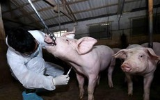 Sẽ miễn giảm lãi vay cho khách hàng bị thiệt hại dịch tả lợn châu Phi