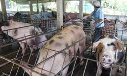 Điêu đứng vì heo (lợn) hơi rớt giá thảm hại