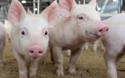Giá lợn hơi được dự báo tăng vào cuối năm