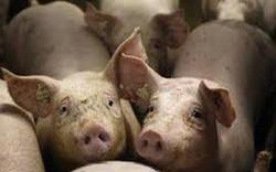 Giá lợn hơi trong nước vẫn đang ở mức cao trong khu vực