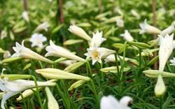 Nông dân xứ Huế trồng hoa loa kèn thu tiền triệu mỗi ngày
