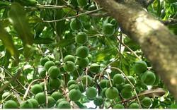Đến năm 2020 Việt Nam sẽ trồng 10.000 ha cây mắc ca