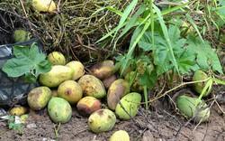 Tổn thất sau thu hoạch xoài lên đến 27%