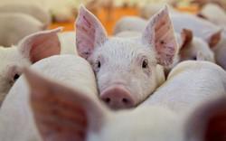 Hiệu ứng thua lỗ dây chuyền từ dịch tả lợn