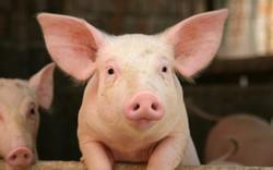 Giá lợn tạo đáy, cơ hội cho Dabaco, Masan, Hòa Phát hồi phục?