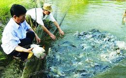 Cần định hướng phát triển diện tích nuôi cá rô phi