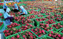 Xuất khẩu nông sản vẫn là bài toán khó của người nông dân