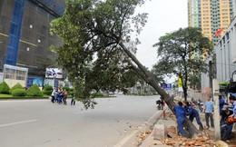 Đã có câu trả lời về việc chặt cây xanh từ Sở Xây dựng Hà Nội
