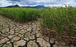 Hạn hán khiến sản lượng thóc gạo Thái Lan sụt giảm trên 30%