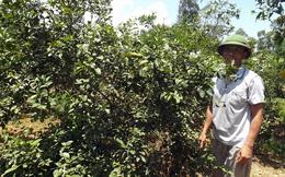 Người trồng chanh lao đao