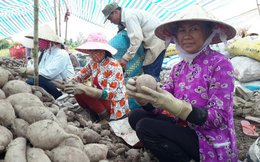 2 kg khoai lang bằng ly trà đá, đừng xiết nợ nông dân