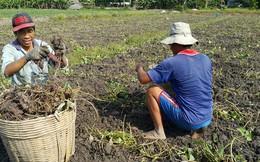Khoai lang tăng giá 3-4 lần, nông dân Vĩnh Long sướng rơn