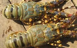 Tôm hùm và câu chuyện cạnh tranh trong ngành thủy sản