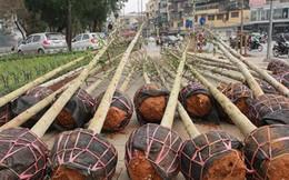 Hé lộ nguồn gốc cây xanh trồng mới ở Hà Nội