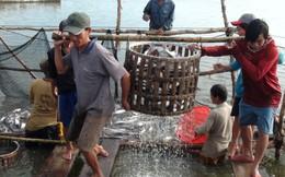 Nhiều nông dân đổ nợ với cá tra
