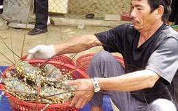 Giá tôm hùm thương phẩm giảm mạnh, người nuôi lo lỗ vốn
