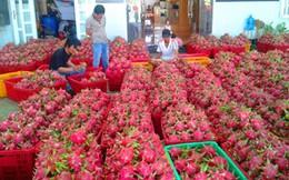 Bình Thuận: thanh long rớt giá do ùn tắc cửa khẩu