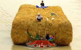 Xuất khẩu rơm sang Nhật làm chiếu và thức ăn gia súc