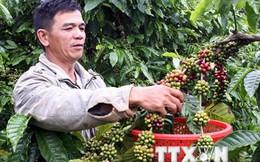 Nông dân trồng càphê không mặn mà với gói hỗ trợ 3.000 tỷ đồng