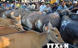 Australia thúc đẩy buôn bán gia súc với Indonesia và Việt Nam