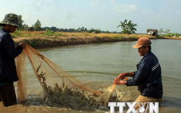 Mổ xẻ nguyên nhân tôm chết hàng loạt ở Đồng bằng sông Cửu Long