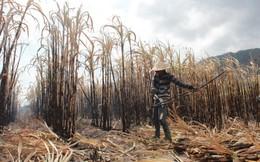 Mía chết cháy do nắng hạn,nông dân bị nhà máy phạt!