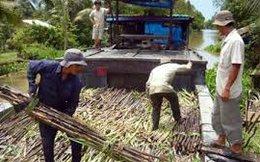 Ngành mía đường Việt Nam thua Lào, Campuchia?