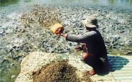 """Ồ ạt nuôi cá tra để bán cho thương lái Trung Quốc: Tỉnh táo tránh """"bẫy"""" cầu ảo"""