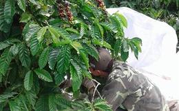Thu hoạch cà phê tới đâu bán tới đó, giá cao nhất trong 5 năm gần đây