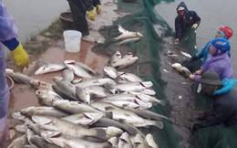 Cá vược chết cóng trắng đầm, người dân lo mất Tết