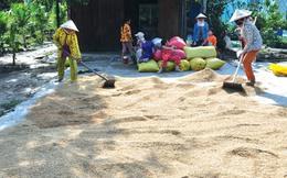 Thương lái 'bẻ kèo', người trồng lúa lao đao