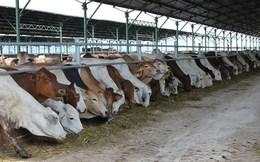 Đua nhập bò Úc giá bèo 3USD/kg về vỗ béo bán thu siêu lợi nhuận