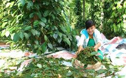Hồ tiêu Quảng Trị mất mùa, mất giá