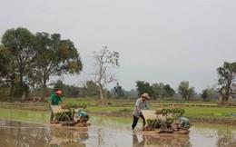 Lào dự kiến xuất khẩu 1 triệu tấn gạo trong năm 2016