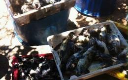 """Cá chết ở đảo Phú Quý nghi do """"thủy triều đỏ"""""""