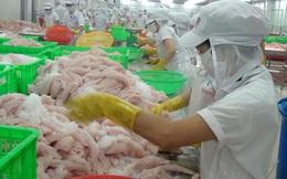 Người nuôi vẫn lo dù giá cá tra tăng cao