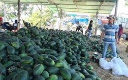 """Dưa hấu 1.200 đồng/kg, người trồng dưa tết """"chết đứng"""""""