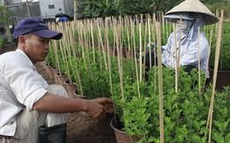 """Người trồng hoa tết lo """"mất ăn"""" do thời tiết"""