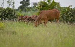 Cỏ mọc như rừng tại Hà Nội sau khi ngừng chi tiền chăm sóc