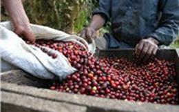 Mưa lớn ảnh hưởng tới thu hoạch và xuất khẩu cà phê