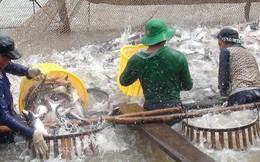 Chạy đua nuôi cá tra, có thể rủi ro