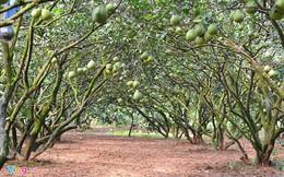Nông dân lãi trên 1 tỷ mỗi năm từ vườn bưởi đặc sản
