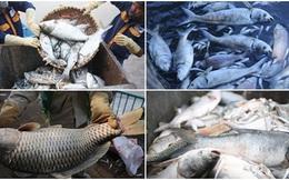 Những xác cá nặng hàng cân nổi lềnh bềnh - cảnh tượng đầy ám ảnh ở hồ Tây ngày hôm nay!