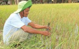 Nông dân khốn đốn vì lúa nhiễm mặn