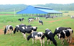"""Bí đầu ra, người nông dân """"khóc ròng"""" với sữa bò"""