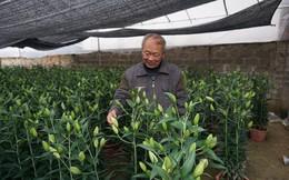 Nghệ An: Cựu chiến binh quê Bác thu hàng trăm triệu từ trồng hoa ly dịp Tết