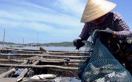 Cá nuôi lồng bè ở Quảng Ngãi chết không rõ nguyên nhân
