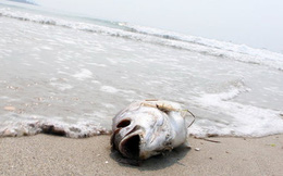 Cá chết dạt tới bờ biển Đà Nẵng, sở Tài nguyên Môi trường chưa biết