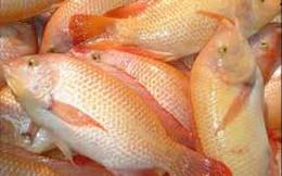 Cá diêu hồng của Cty CP Sài Gòn Food xuất khẩu vào Úc bị cảnh báo
