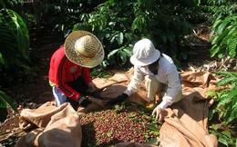 Giá cà phê vượt mốc 42.000 đ/kg